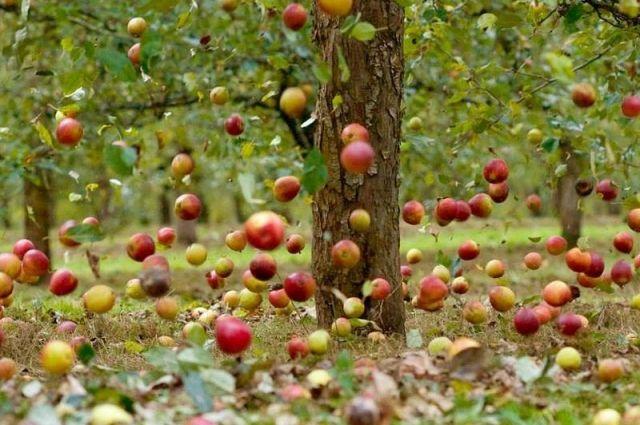 Чем опасны «падалки»? Какие яблоки нельзя есть?