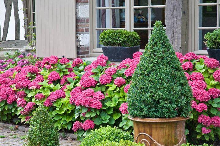 Пейзажная живая изгородь как украшение сада. Гортензия.