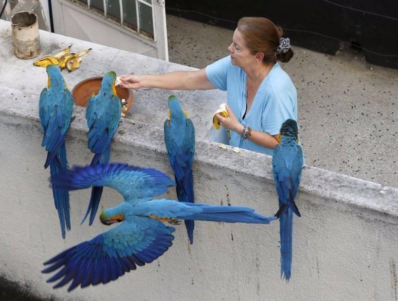 А вот венесуэльские голуби не смотря на то, что они тоже из Южной Америки, хотя бы имеют крылья. голуби, животные, прикол, юмор