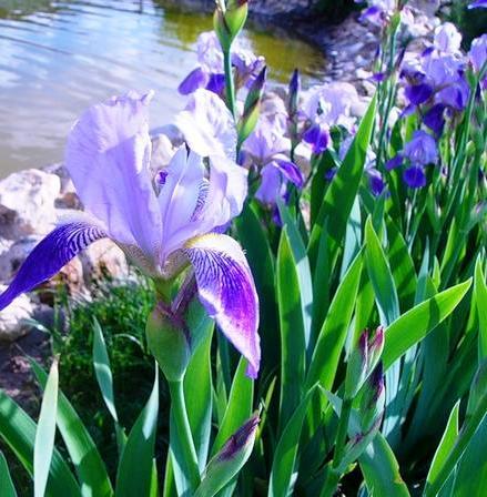 Цветы, которые не хочется срывать — наши любимые ирисы