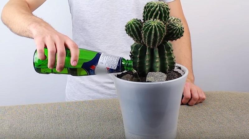 применение пива для подкормки растений