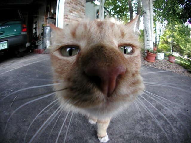 8. Нос кошки животные, коты, факты