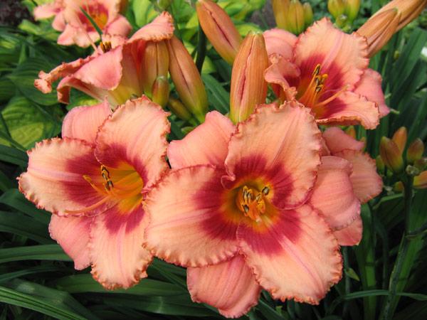 Лилейник — цветок удачи в наших садах. Особенности посадки и уход