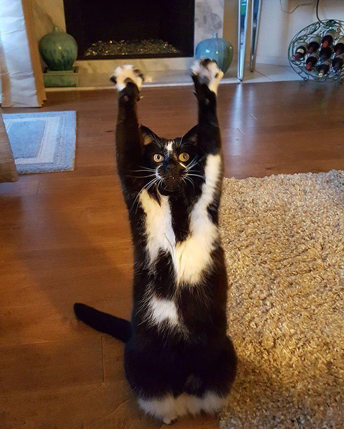 Кошка по прозвищу «Лапы вверх!»