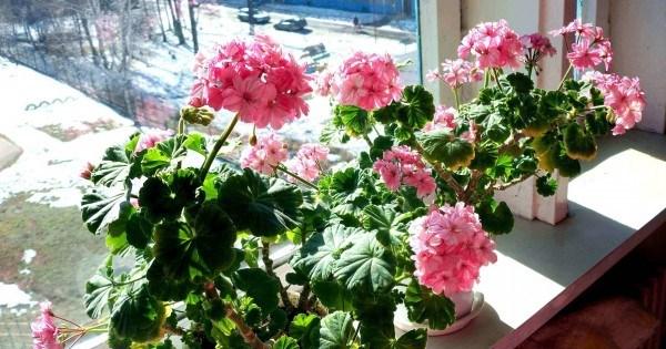 9 недугов, которые лечит герань. Не цветок, а помощник народных целителей
