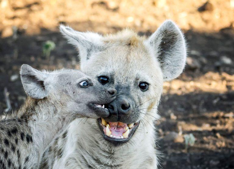 сравнению классическими картинки гиена улыбается этот праздник всем
