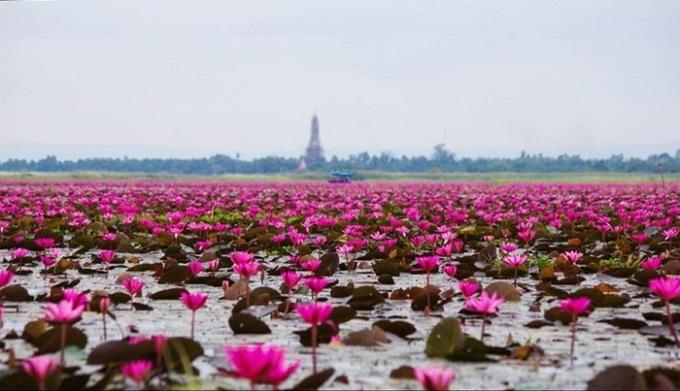 «Море красных лотосов» — удивительной красоты озеро в Таиланде