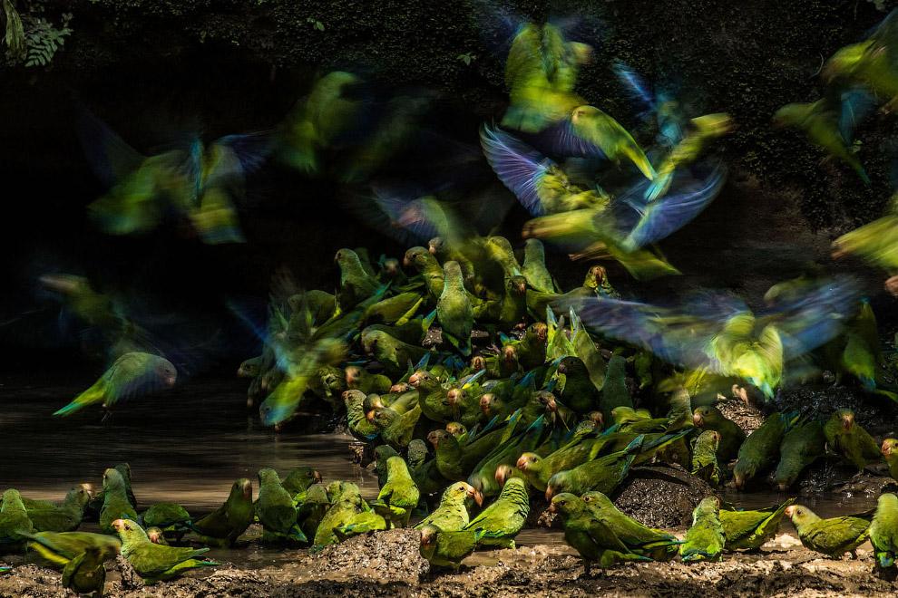 Стая попугаев в национальном парке Ясуни, Эквадор
