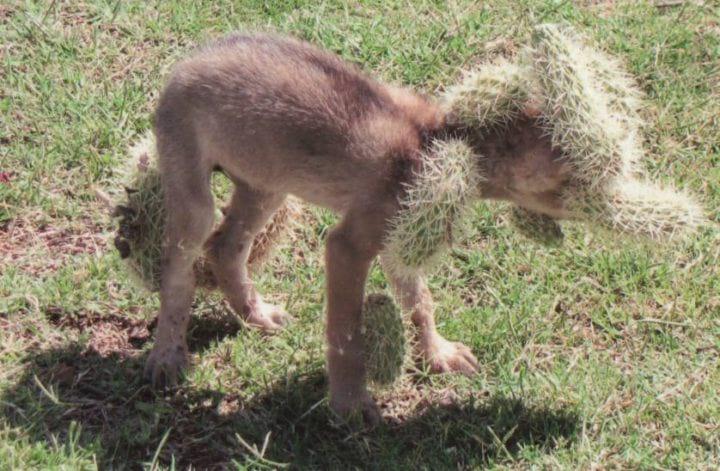 Малыш-койот попал в заросли кактусов, а спасти его могли только люди