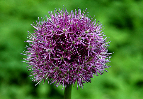 Лук (Allium)