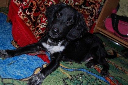 В Копейске щенка спаниеля выкинули из машины прямо на ходу.