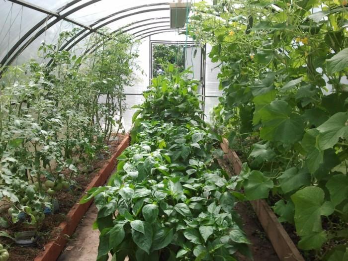 Вариант правильного подбора соседствующих растений в теплице. | Фото: letnyayadacha.ru.