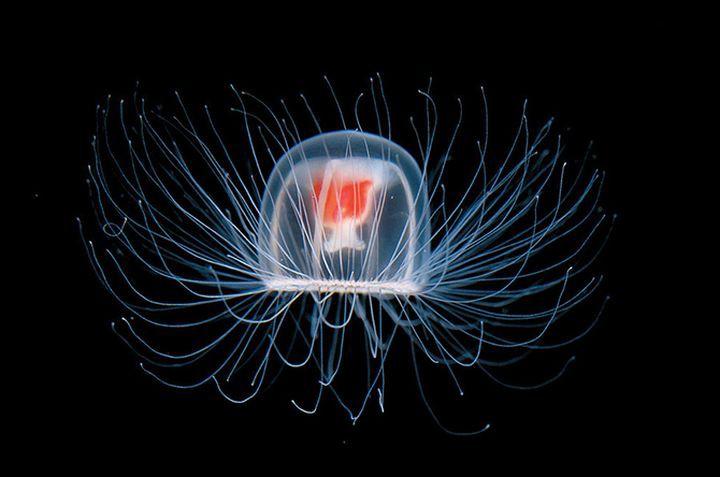 5. Медуза вечность, животные, растения