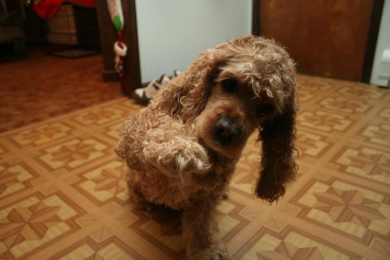 самые умные собаки в мире: американский кокер-спаниель. Фото