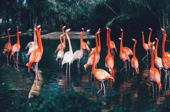 Учёные установили, что Флорида является родиной фламинго