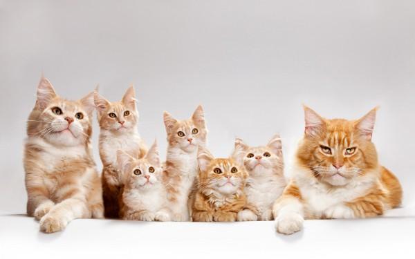 """Рубрика """"Вопрос-ответ"""". Вопрос о родственных связях кошек."""