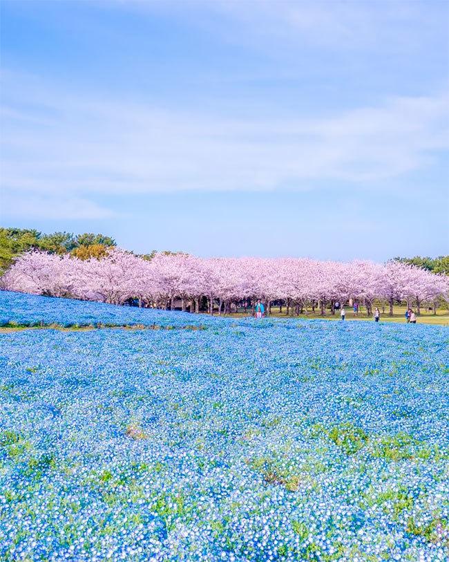 Mùa sakura Nhật Bản qua ống kính của một nhiếp ảnh gia.1.2