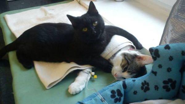 Помощник ветеринаров - кот Радеменес