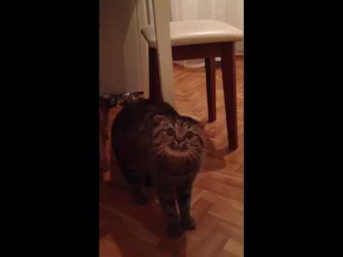 Кот ругается на хозяйку