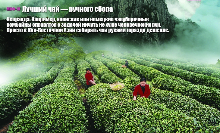 10 мифов о чае миф, чай