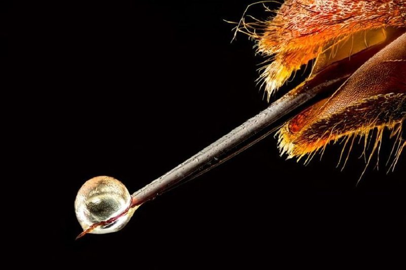 2. Азиатский шершень с ядом на кончике жала в мире, животные, красота, природа, удивительно, фото