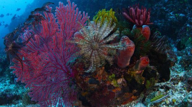 Опасная болезнь угрожает исчезновением кораллов в Карибском бассейне