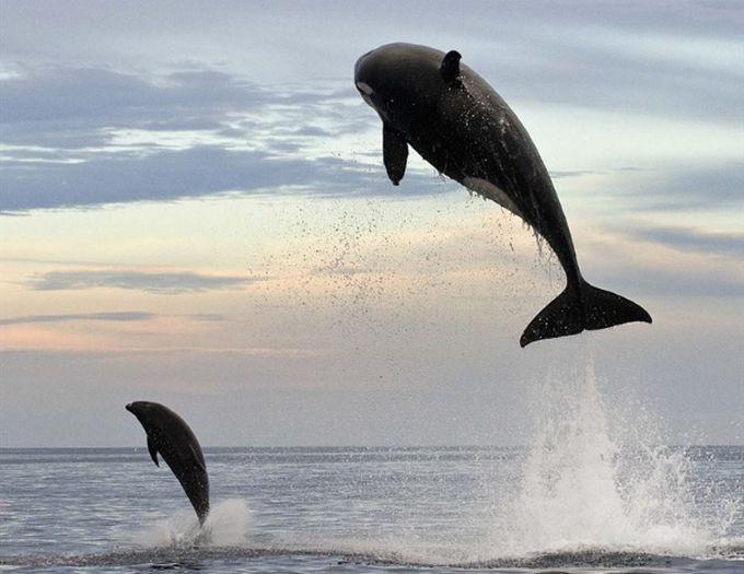 4. В погоне за дельфином эта косатка выпрыгнула на 5 м из воды... животные, природа