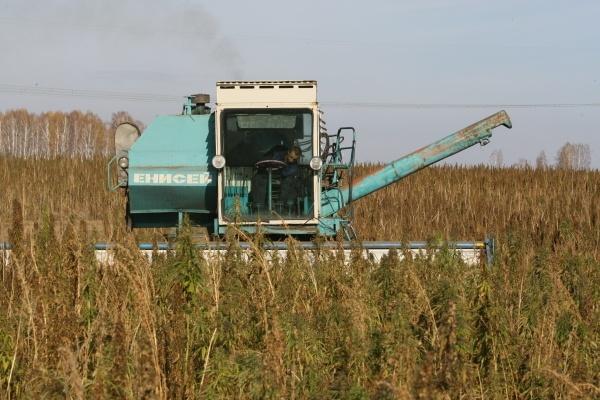 В Совфеде предложили провести эксперимент с выращиванием конопли по всей стране