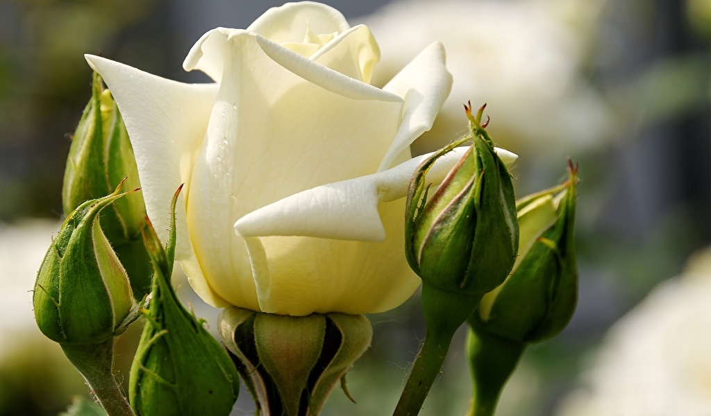Золотые правила выращивания роз