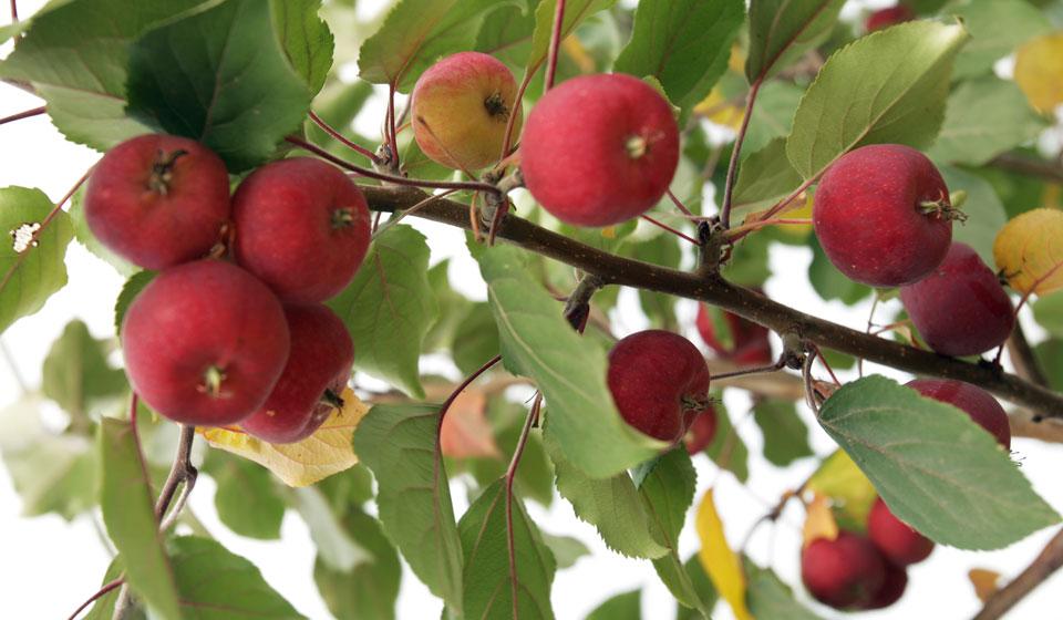 Жадности, картинки ранеток яблок