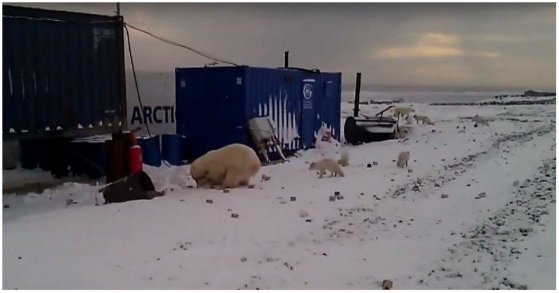 Белый медведь устроил охоту на песцов в поселке ynews, белый медведь, видео, медведь, охота, песец, поселок, хищник
