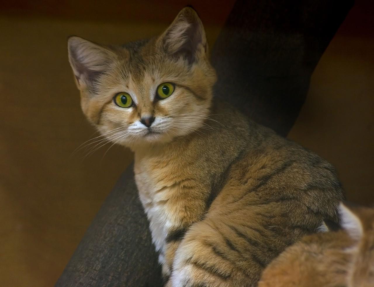 Картинки по запросу Песчаные кошки: И взрослые, и малыши выглядят как котята