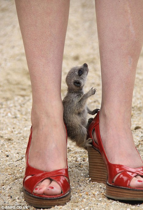 Сурикатам понравились женские ноги
