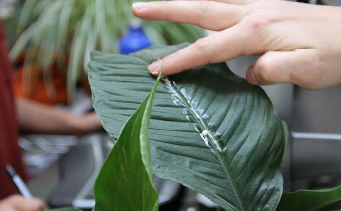 Как придать блеск листьям горшочных цветов