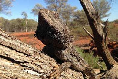 Глобальное потепление заставило австралийских ящериц поменять пол