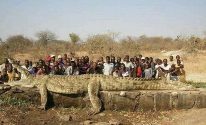 Африканский крокодил-гигант побил рекорды размеров: 7 метров длины и вес больше тонны Культура