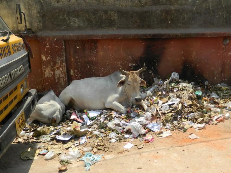 Бездомные коровы - одна из проблем Индии