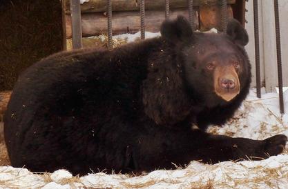 Медведь в Сибири проснулся и впал в апатию