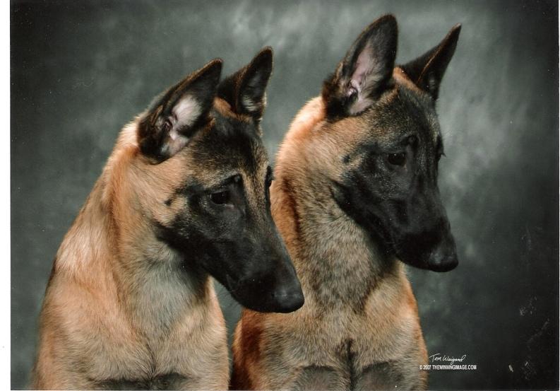 самые умные собаки: порода бельгийская овчарка (малинуа). фото