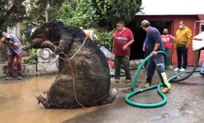 Сантехники начали чистить засор и достали крысу размером с человека. Но в итоге крыса-гигант оказалась лишь муляжом