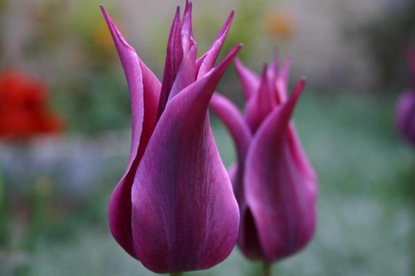 15 лучших лилиецветных тюльпанов