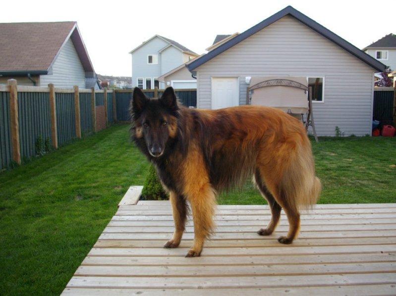 собака породы бельгийская овчарка (тервюрен). фото