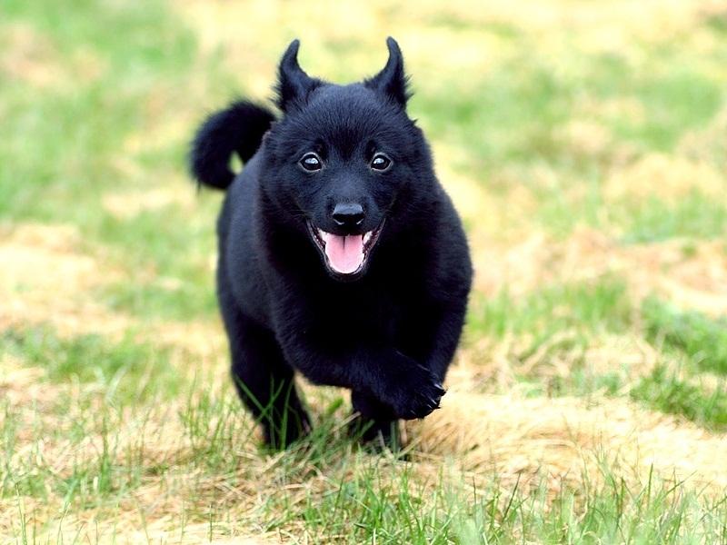 порода собак Шипперке фото