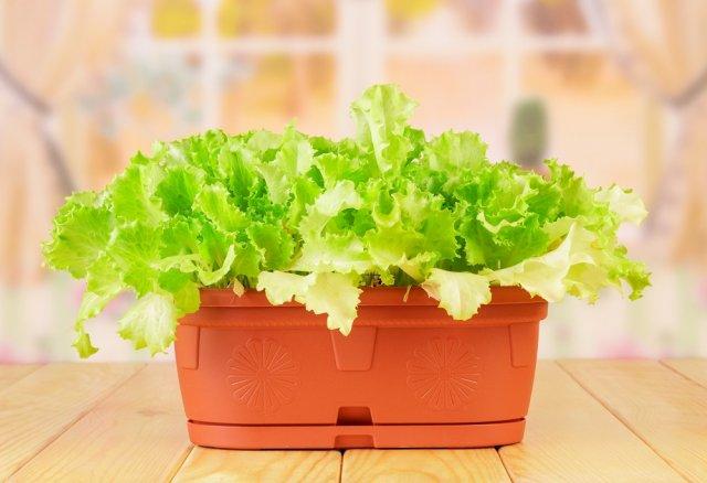 Вырастить салат зимой на подоконнике? Легко!