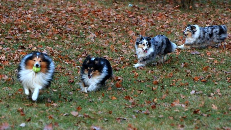 собака породы шетландская овчарка. фото