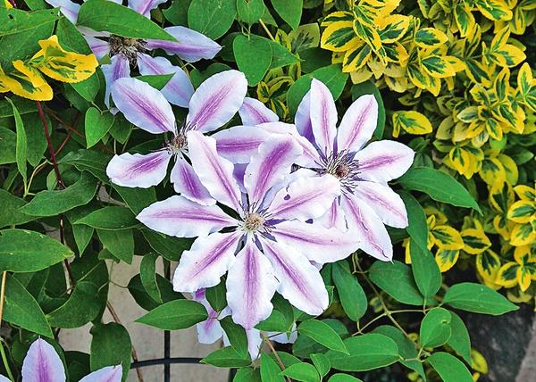 Nelly Moser - теневыносливый крупноцветковый сорт клематиса гибридного.
