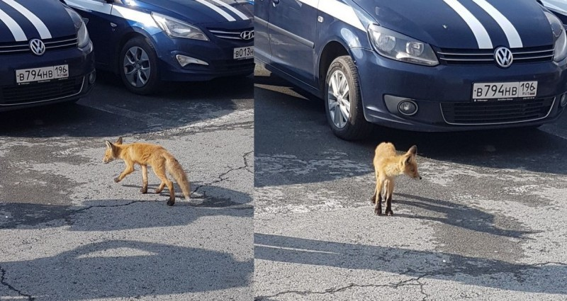 В центре Екатеринбурга полицейские спасли маленького лисенка