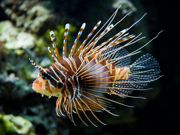 Ядовитые рыбы красного моря фото и названия