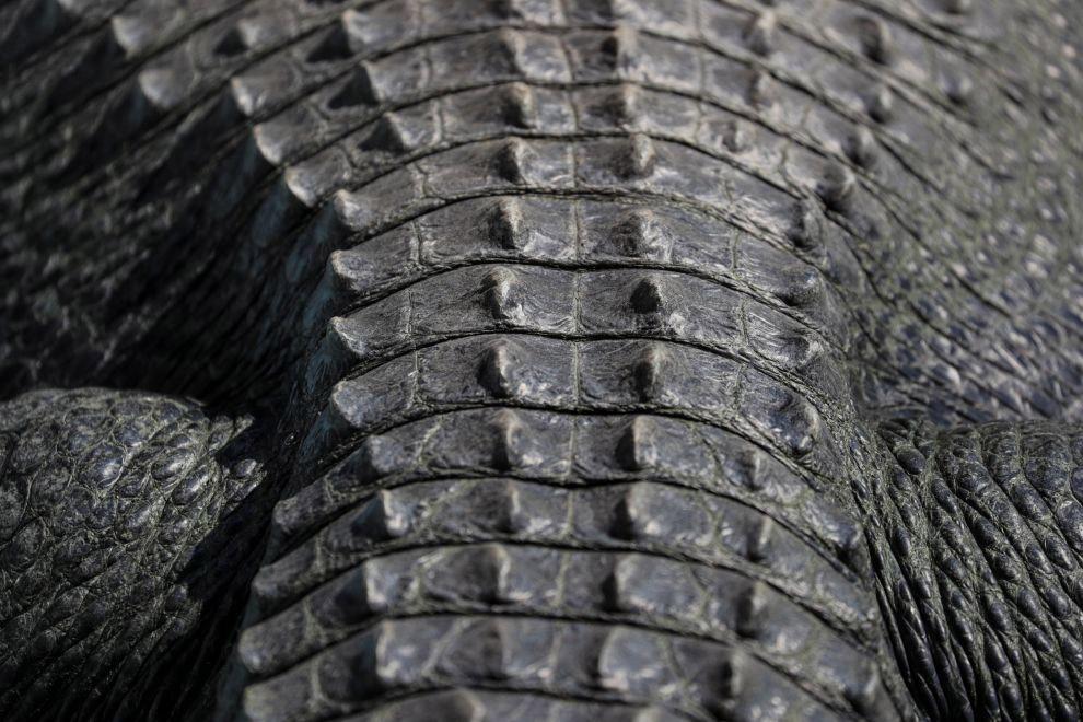 Аллигатору Мудже из Белградского зоопарка уже более 80 лет