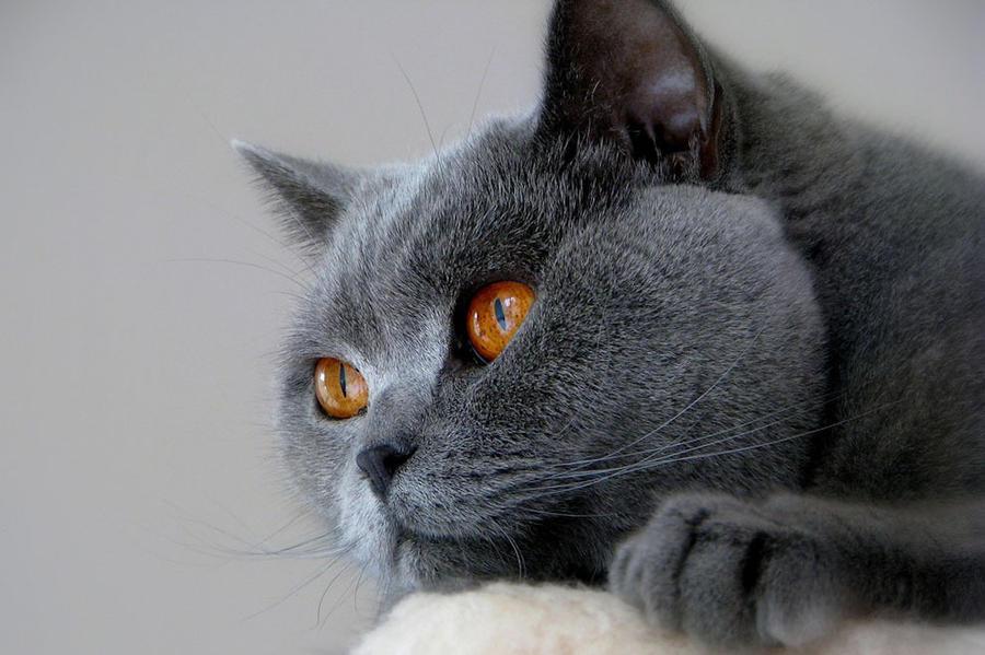 Красивейшие породы кошек